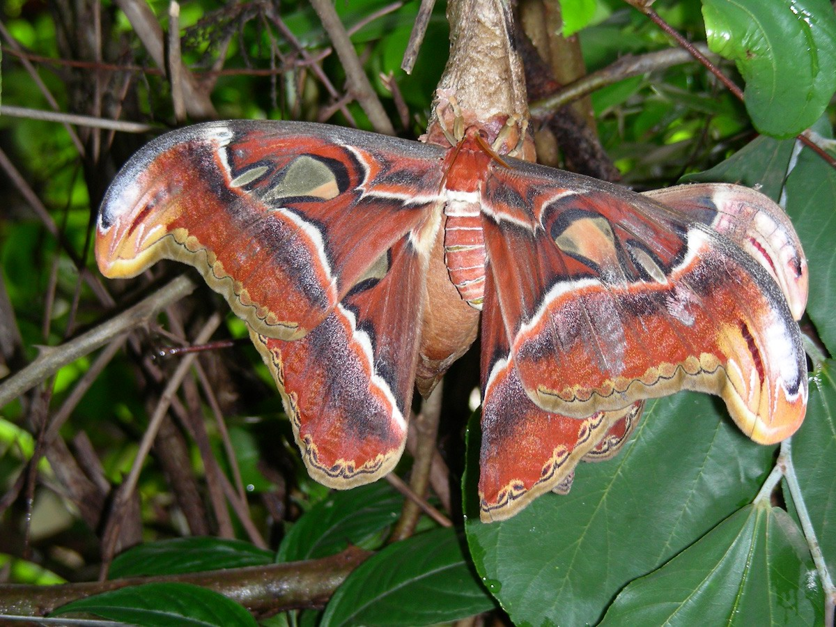India's largest moth